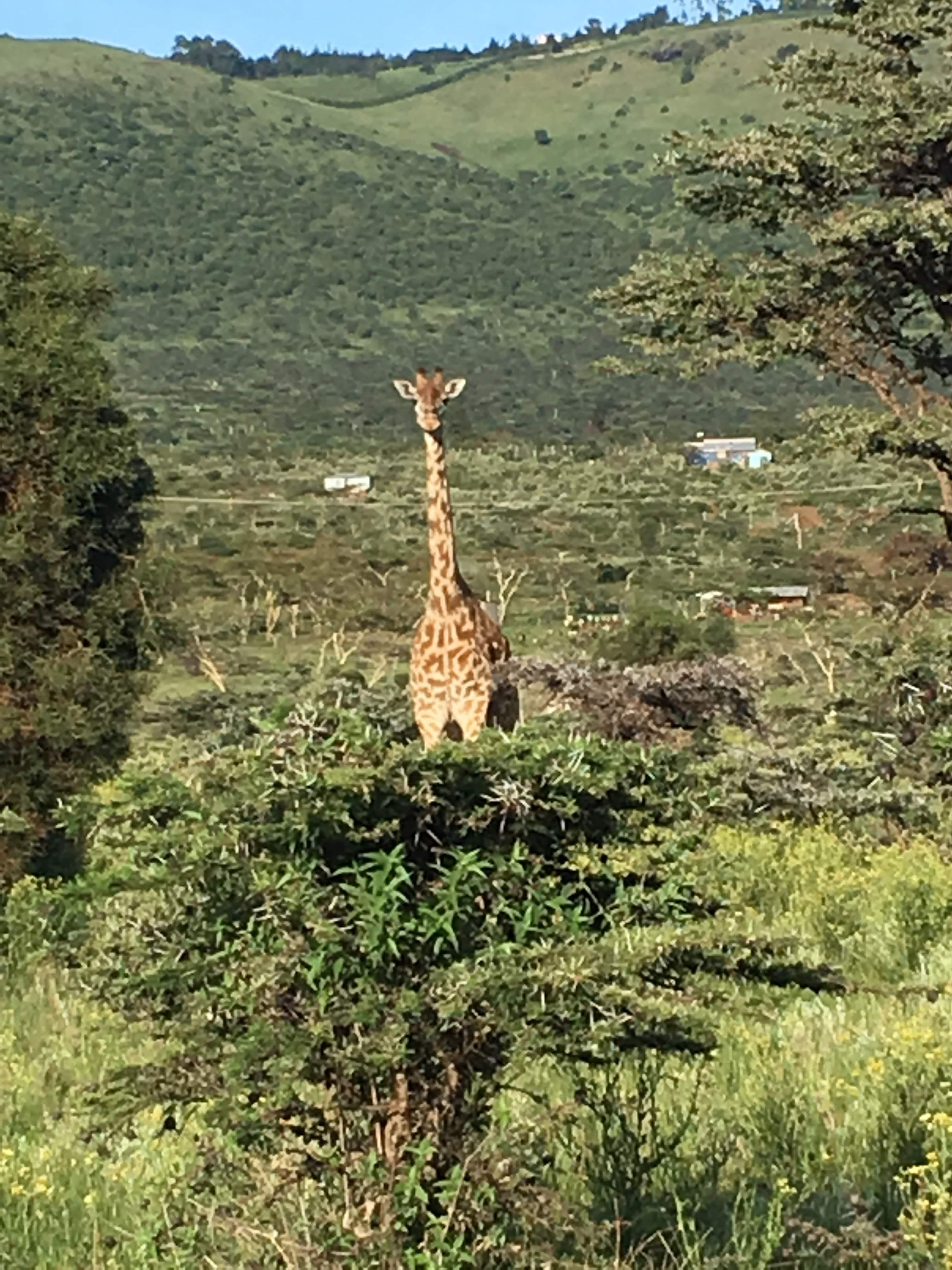 kenya maasai giraffe