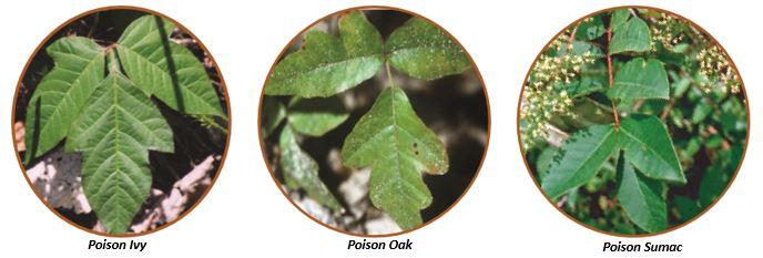 Poison Ivy, Poison Oak, and Poison Sumac