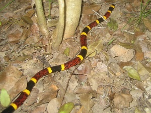 Coral Snake on Dead Leaves