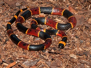 Coral Snake on Mulch