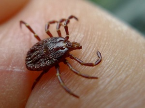 Close-up of a Tick