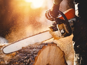 Worker wearing gloves is using a chainsaw to cut through a very large log.