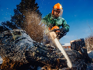 Worker wearing PPE is using a chainsaw to cut through a very large log.