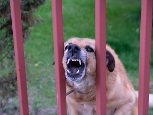 An angry dog behind a fence who is growling and showing his teeth.