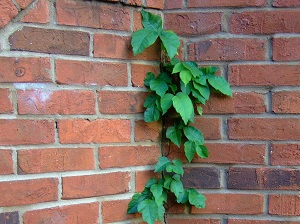 A poison Ivy vine that is crawling up a brick wall on a house.