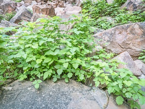 Poison ivy growing on a rocky terrain.