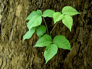 Poison ivy that appears to be growing out of a tree trunk.