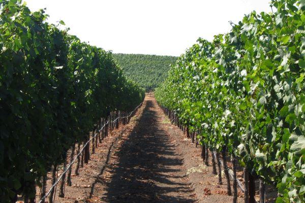 Vineyard row