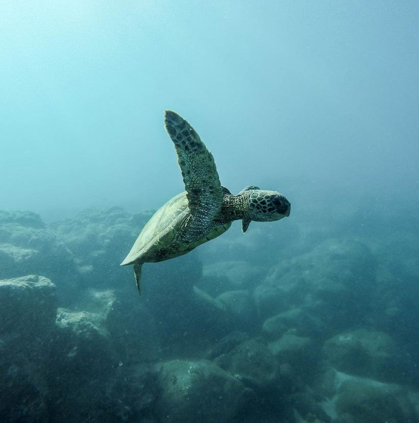 A sea turtle swims near the Nihi Sumba resort in Bali, Indonesia where they run a turtle rehabilitation and release program