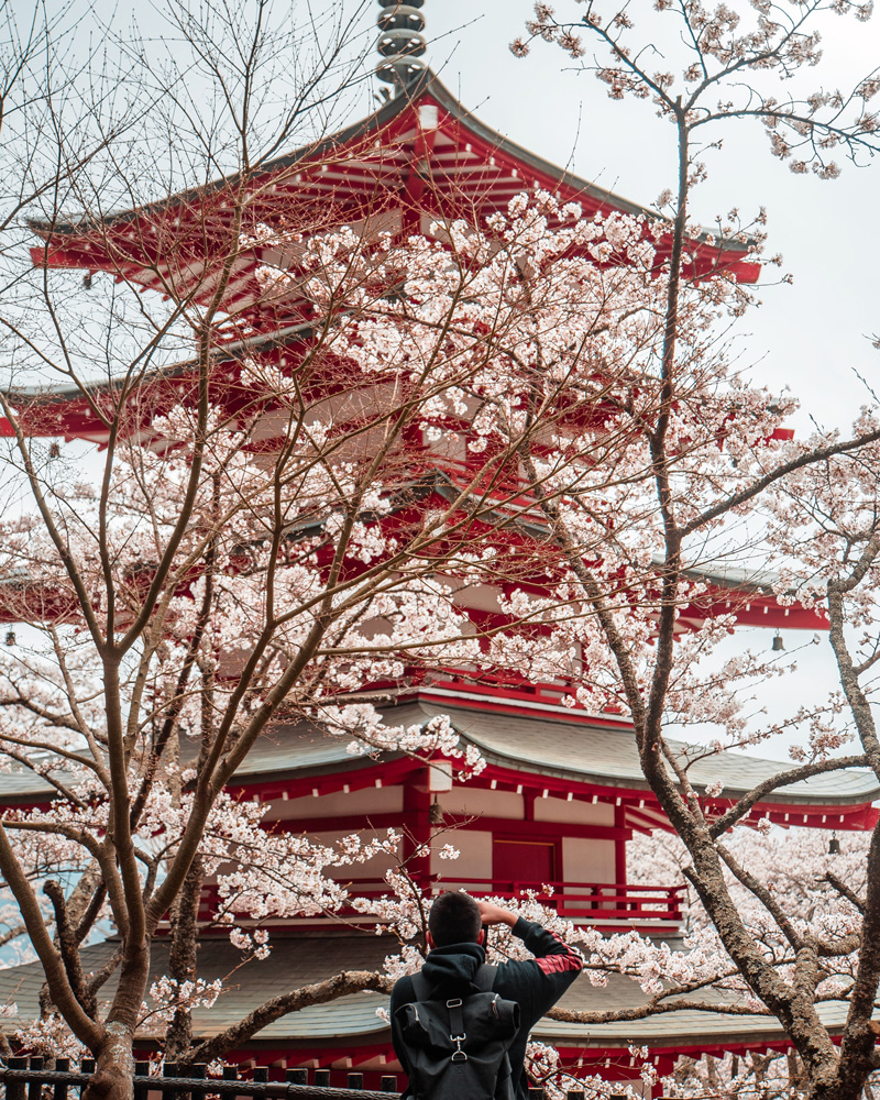 The cherry blossoms are blooming in front of Sensō-ji, an ancient Buddhist temple in Tokyo, Japan