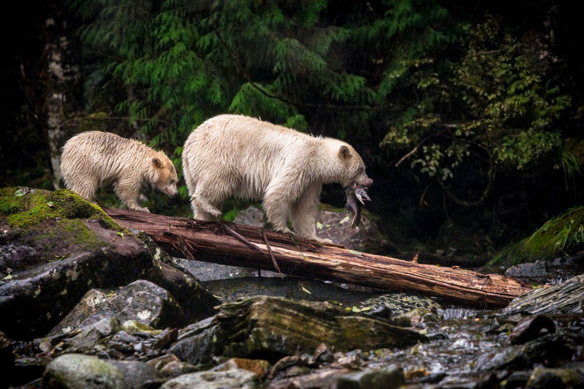 Spirit Bears, Salmon Fishing