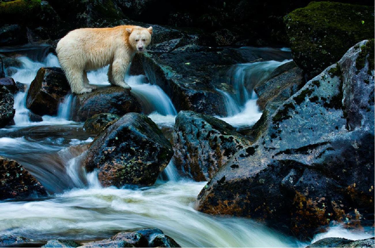 Spirit Bears of British Columbia