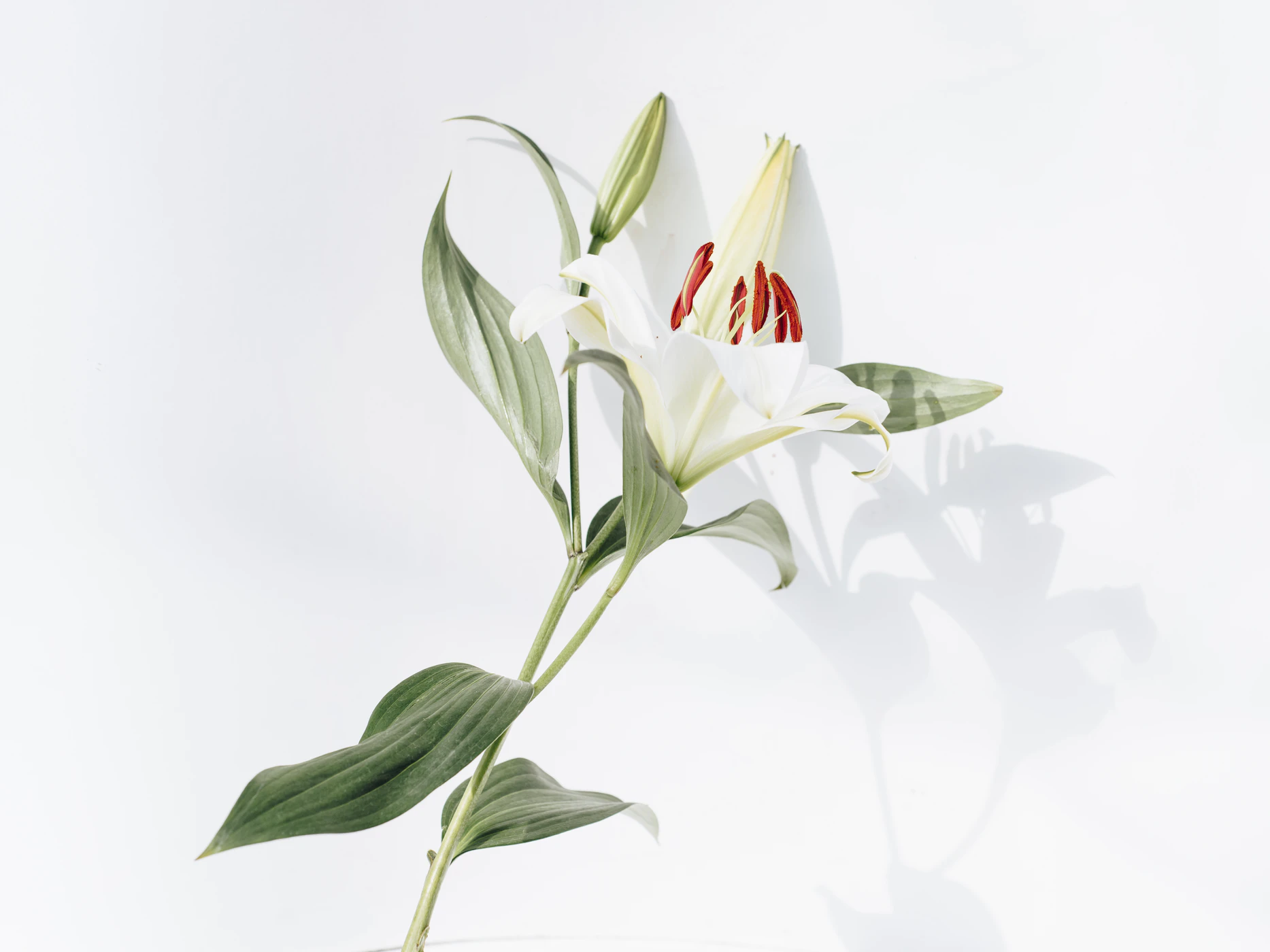 Single long-stemmed white stargazer lily blooming during funeral