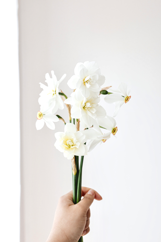 handful of eight white daffodil flowers blossoming in sympathy as bouquet of funeral flowers