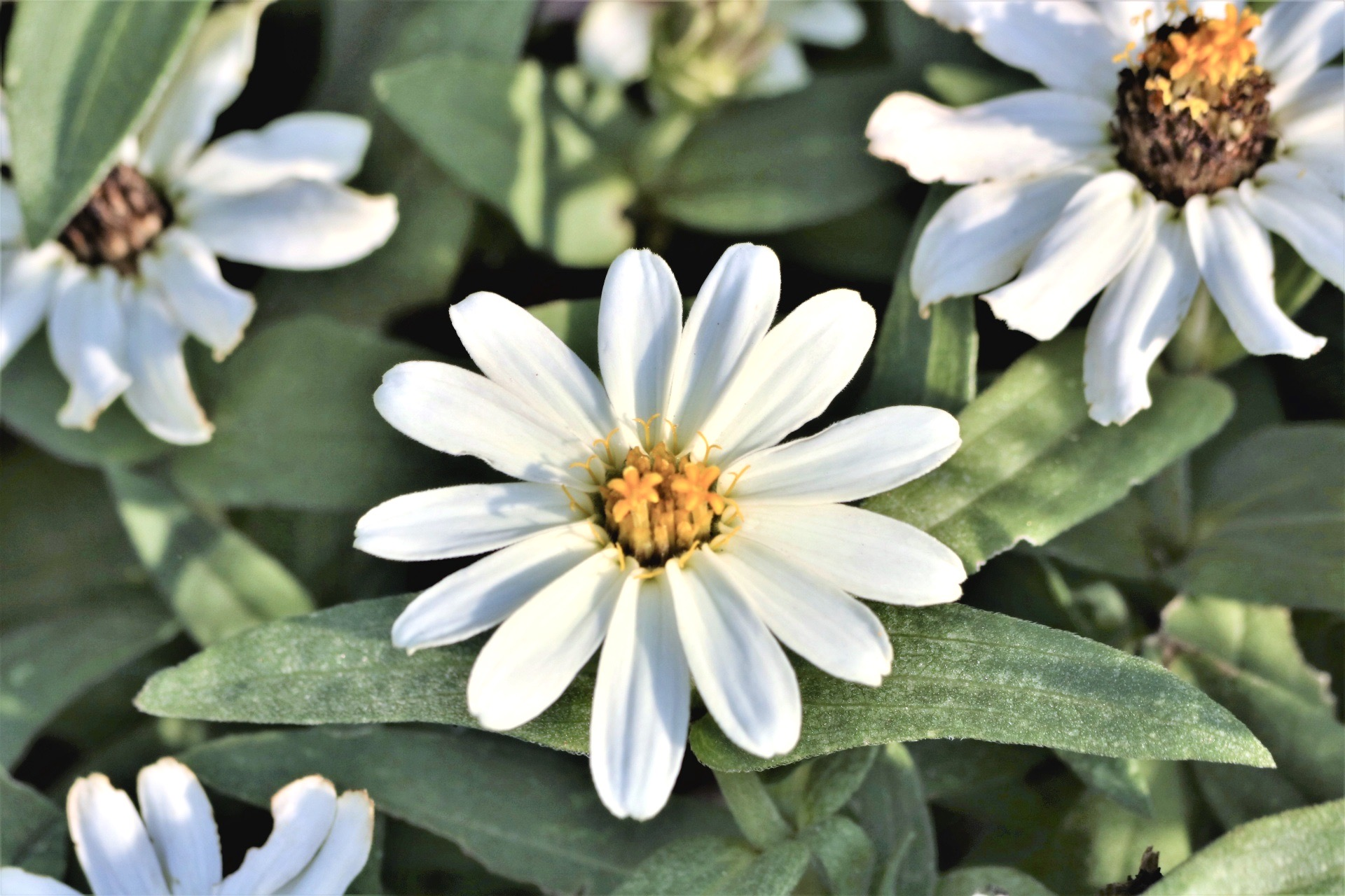 elegant single-row white profusion zinnia flower blossom with 13 single petals surrounding vibrant center with yellow and orange pistils prepared as funeral flower