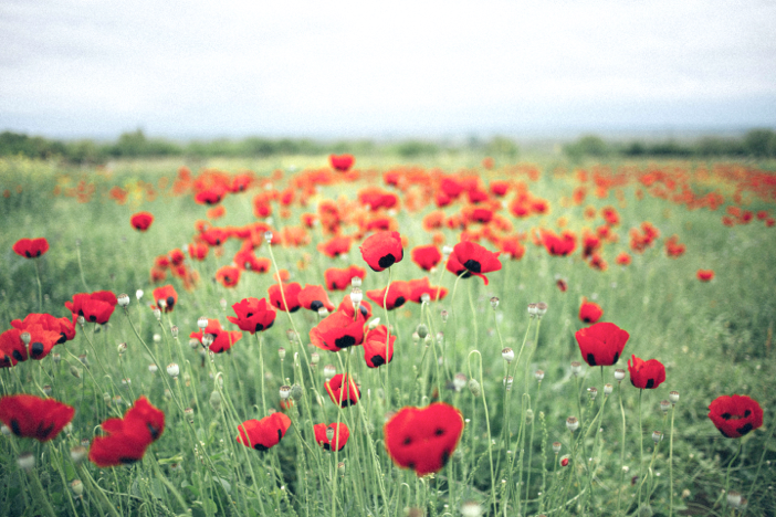 open field of vibrant red poppies in bloom near graveside burial site memorial