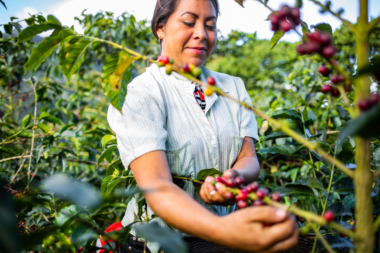 Harvesting ripe coffee cherries at El Aguila, El Salvador.