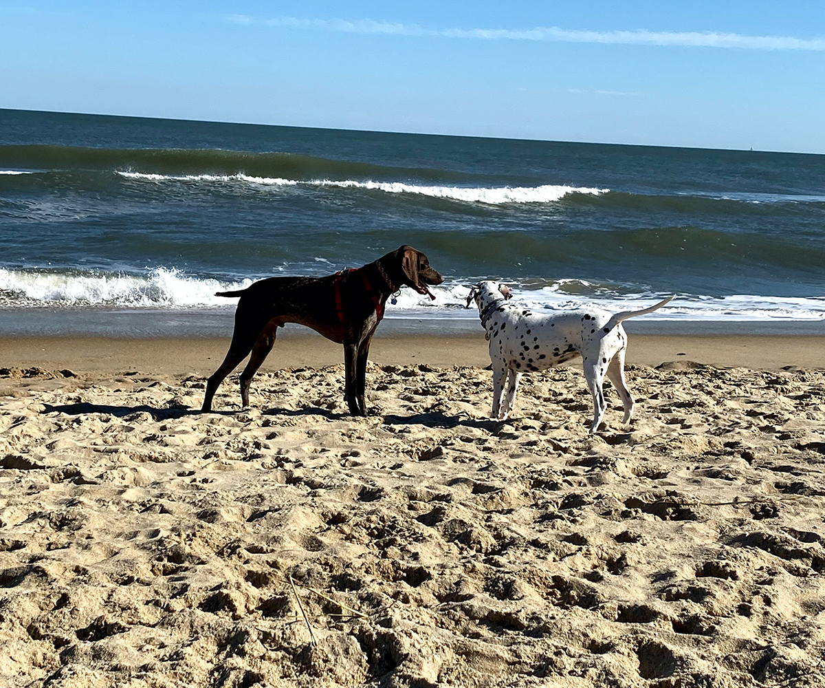 two dogs playing in sand in ocean city maryland
