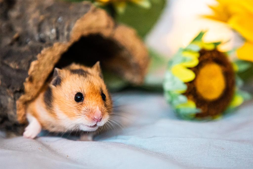 Mikä ihmeen hamsteri?