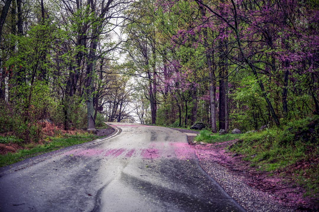 Red buds on the road after a spring rain.