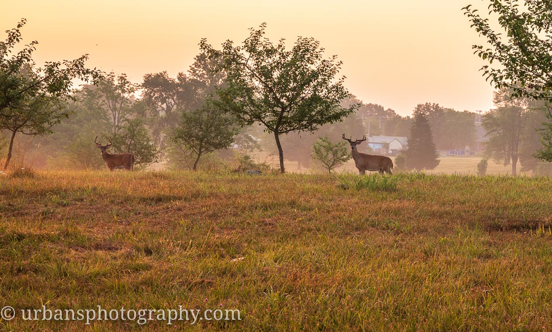 Two bucks at dawn keeping an eye out.