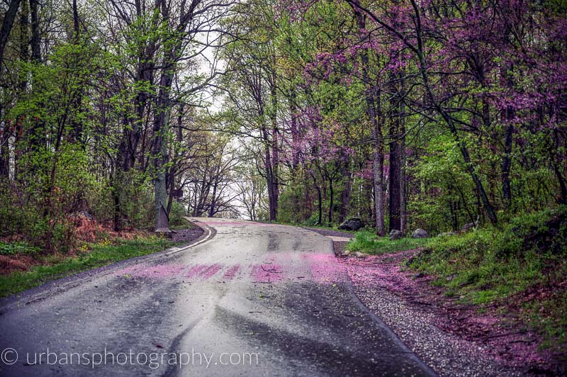 Red Buds falling after a spring rain on Little Round Top