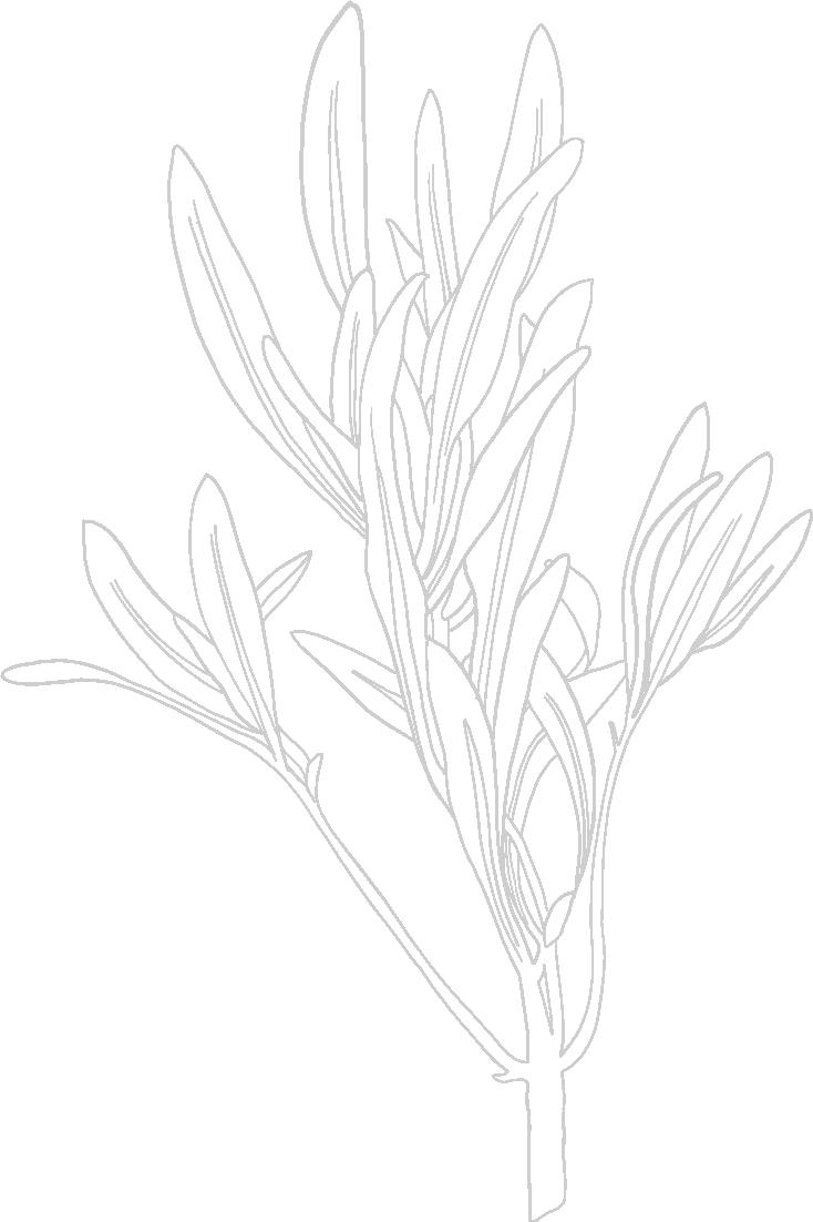 Hand drawn illustration of sage