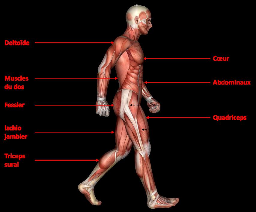 Muscles mobilisés pendant un exercice de marche