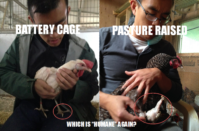 "A band embedded into a hen's deformed and crippled leg is just one brutal example of so-called ""humane"" farming. (Left: normal leg of a chicken rescued from a battery cage facility. Right: swollen and deformed leg of a hen rescued from a"