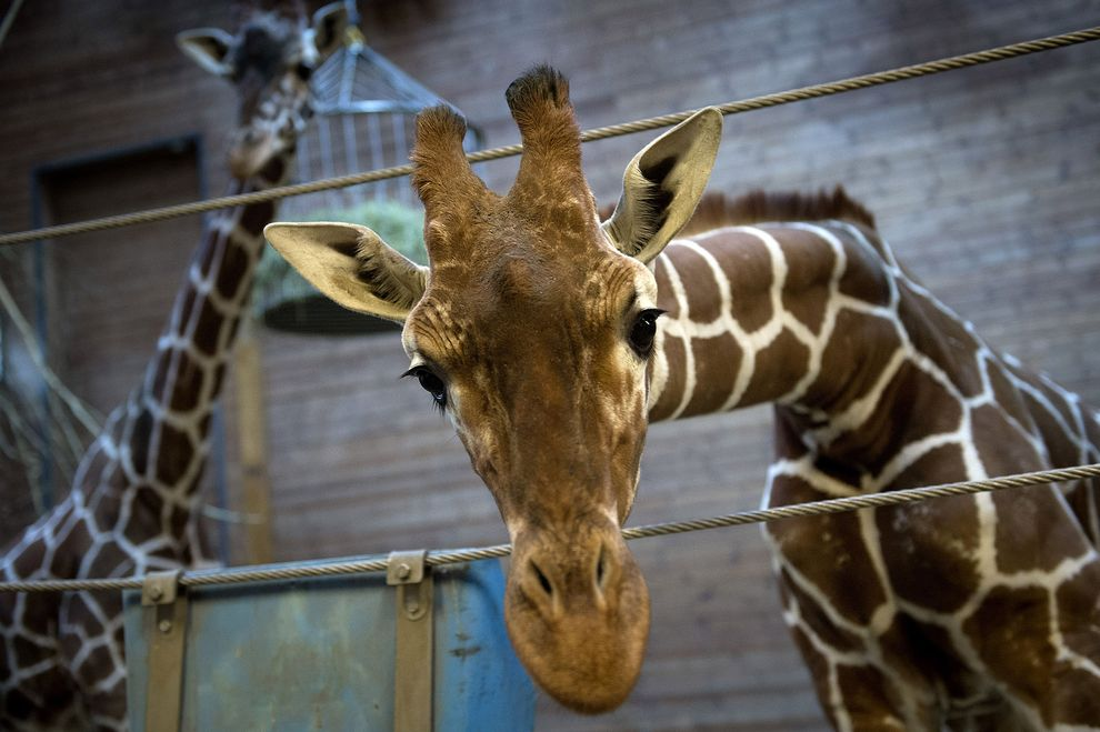 Marius the giraffe has triggered more concern in the States than in Denmark, but local activists are hoping to change that.