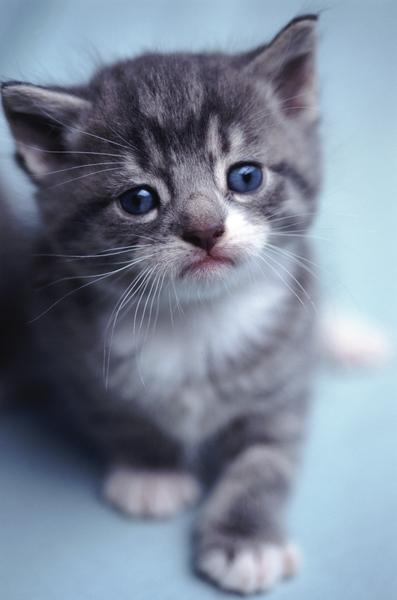 All kittens have a distinctive blue tint in their eyes.
