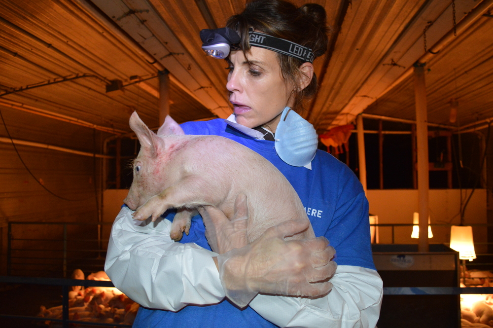 Alexandra Paul rescuing a piglet from the Farmer John facility.