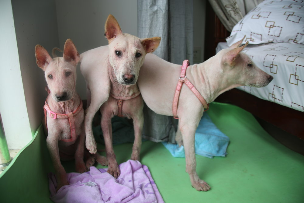 Oliver, Pao, and Lao just days after they were  rescued from a dog meat farm in Yulin .