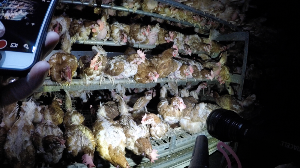 "DxE investigation at a ""free range"" egg farm that supplies to Costco."
