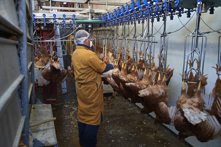 Chicken slaughter line at New Stockton Poultry slaughterhouse.Photo by Michael Goldberg