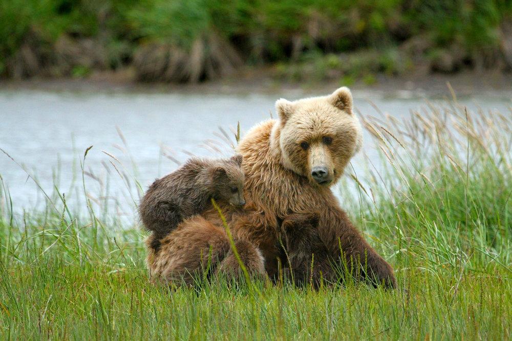 Brown bears in Lake Clark National Park, Alaska.