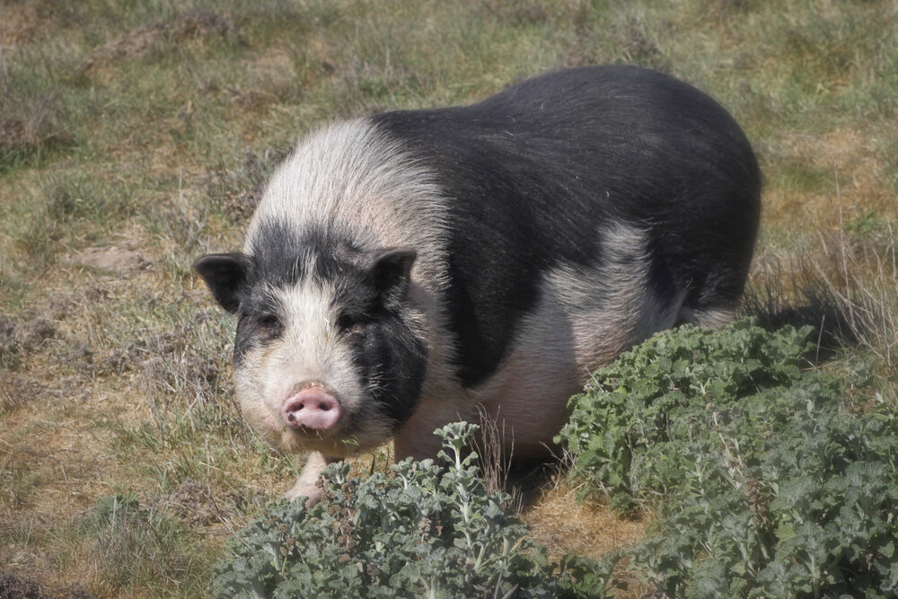 A rescued pig at Little Orphan Hammies, miniature pig sanctuary, in Solvang, CA.