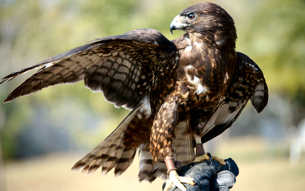 A short-tailed hawk wearing a quizzical expression.