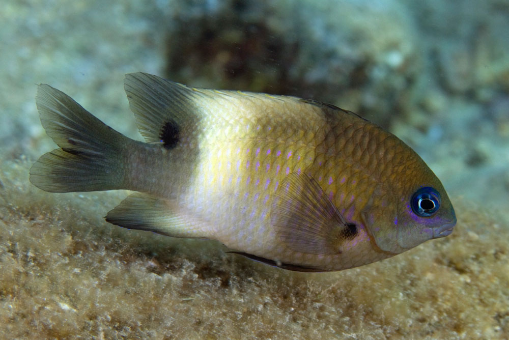 Whitebar gregory damselfish.
