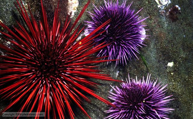 Sea urchins.