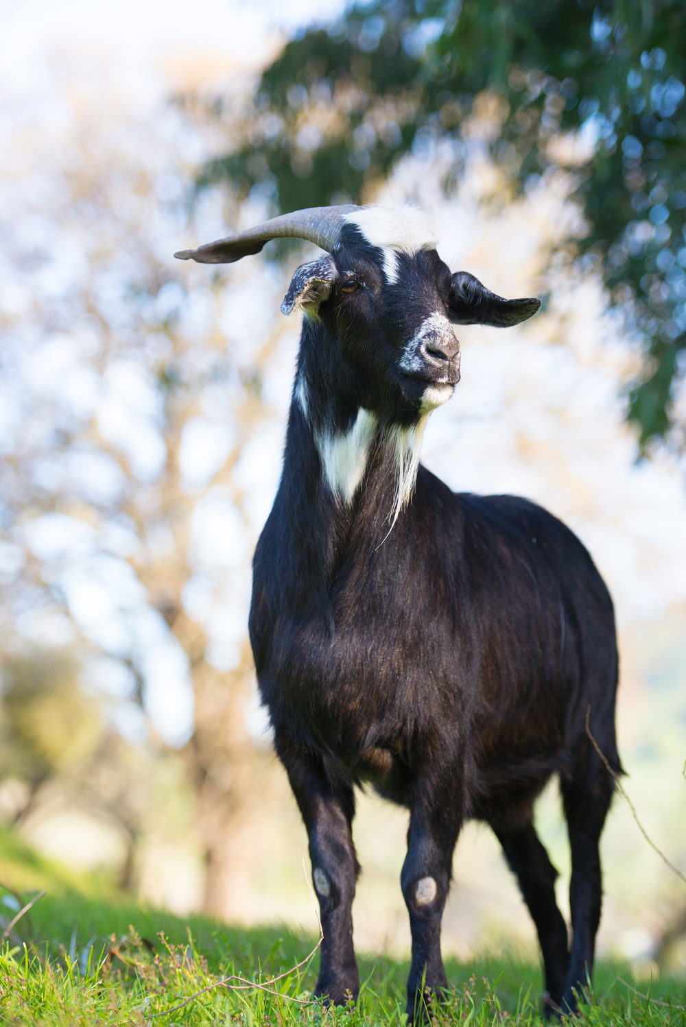 Domino is finally free after escaping a livestock auction.