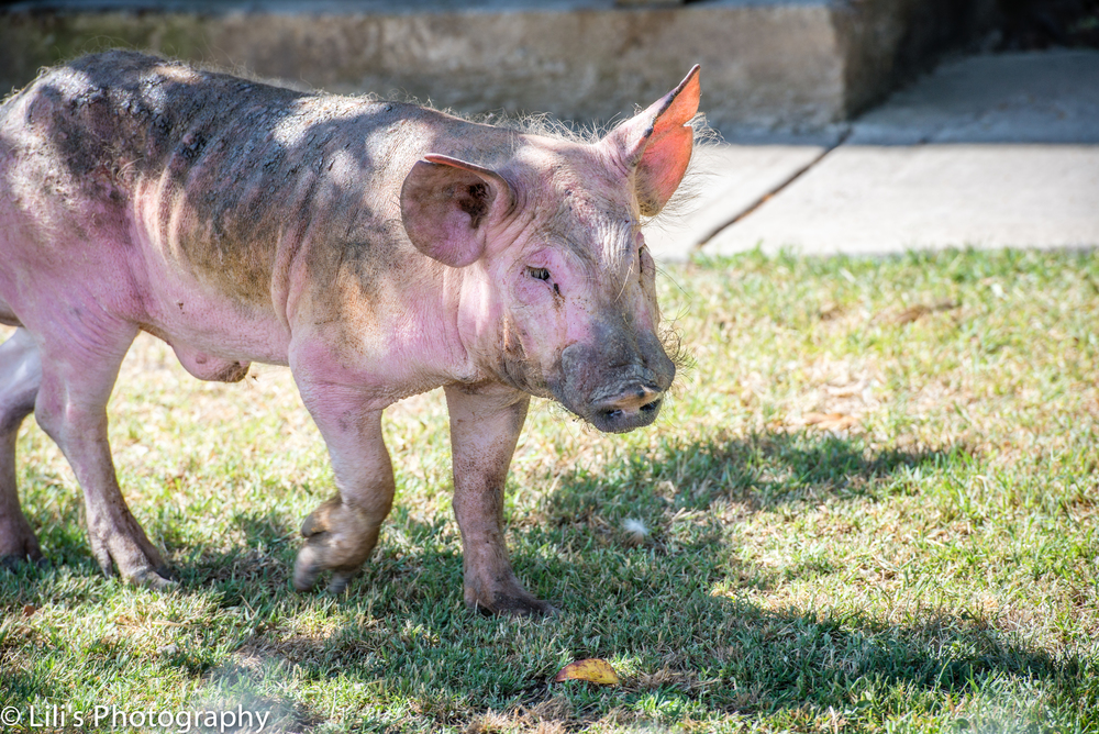 Hayden, who lives at Harvest Home Sanctuary in Stockton, CA, is one of 31 pigs rescued from a biomedical lab in San Francisco.