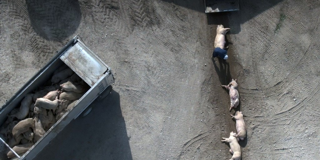 Drone footage of dead pigs from mass extermination in Iowa amid corona virus pandemic