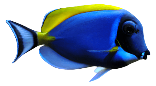Blue regal fish isolated