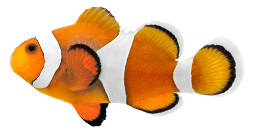Clown fish isolated