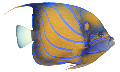 Blue Angel fish isolated facing right