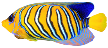 Regal fish isolated