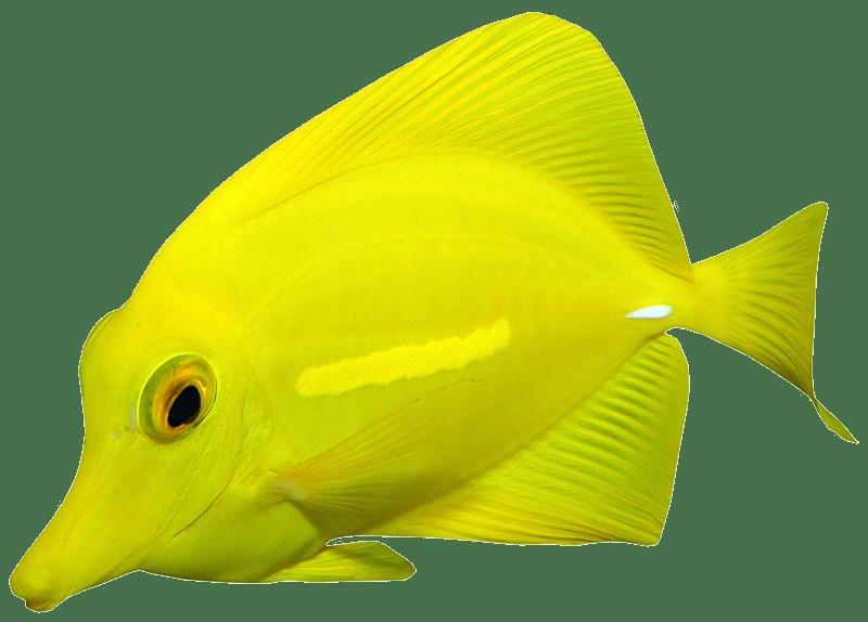 Yellow tang fish isolated image