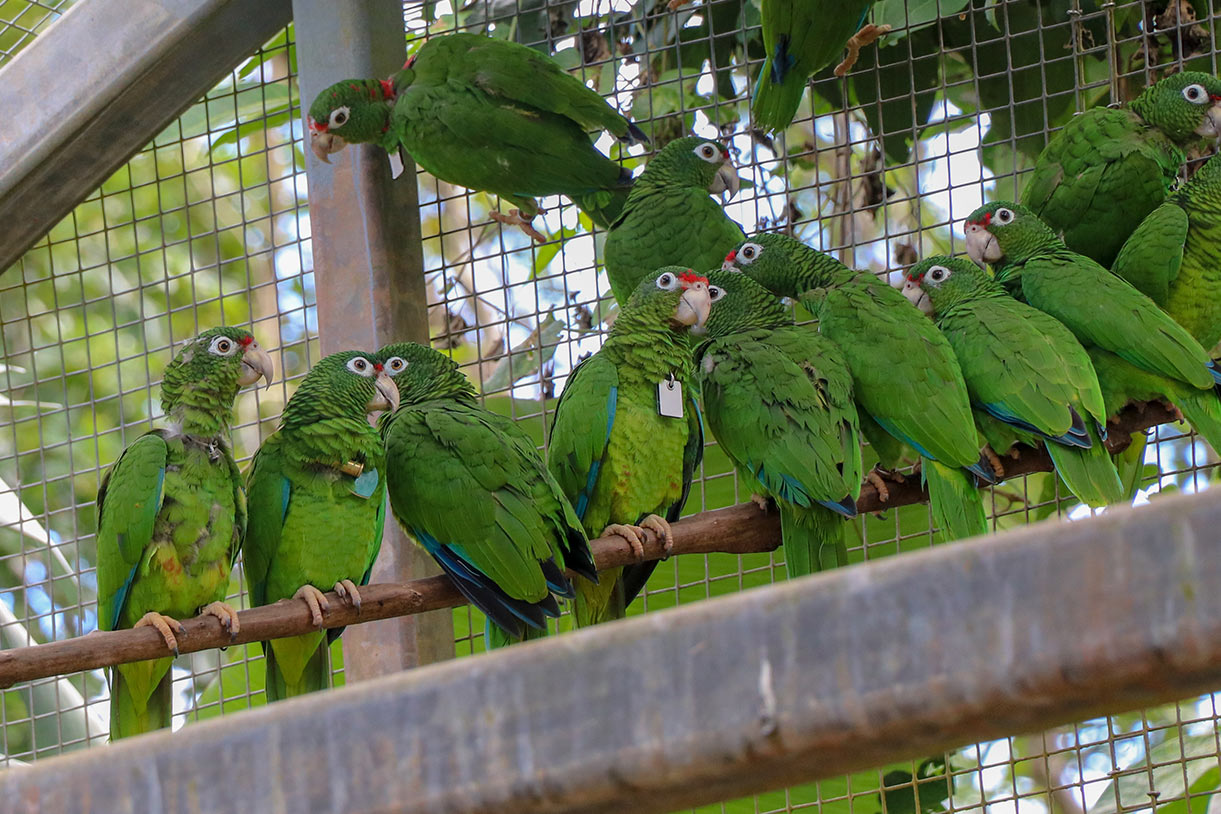 Save Endangered Puerto Rican Parrots