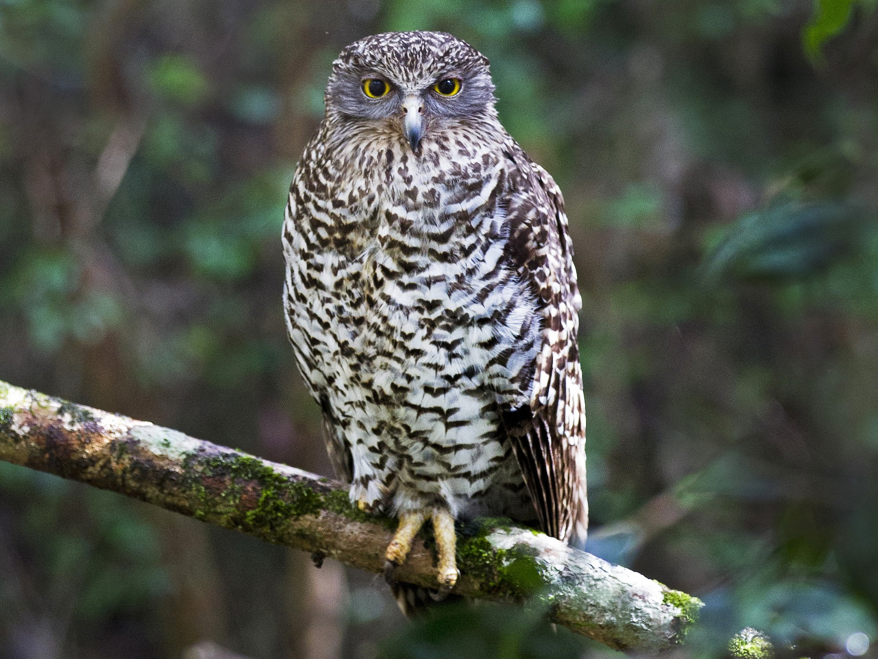 Powerful Owl - eBird